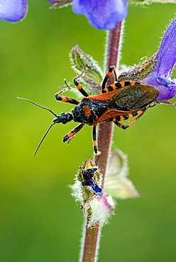 Red Assassin Bug (Rhynocoris iracundus) perched on a flower, Feldthurns, Bolzano-Bozen, Italy