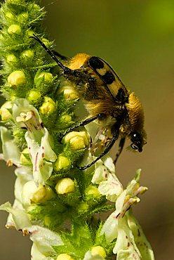 Bee Beetle (Trichius fasciatus) perched on a flower, Feldthurns, Bolzano-Bozen, Italy