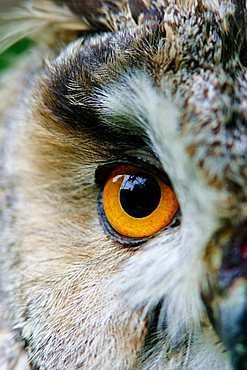 Eye of a Long eared owl (Asio otus)