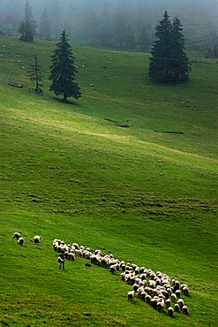 Sheep, Pesterii, Bihor Mountains, Parcul Natural Apuseni, Romania, Europe