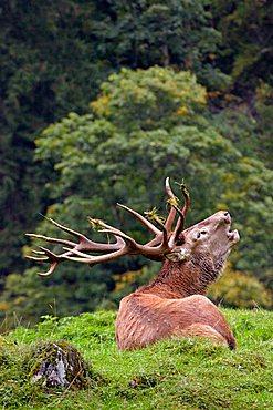Red Deer (Cervus elaphus), stag in rutting season, Tirol, Austria, Europe