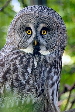 Great Grey Owl, Great Gray Owl (Strix nebulosa)