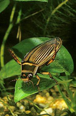 Great diving beetle (Dytiscus marginalis)
