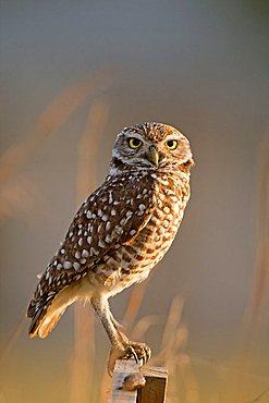 Burrowing Owl (Athene cunicularia), Cape Coral, Florida, USA