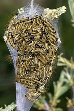Lackey Moth (Malacosoma neustria)