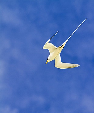 White-tailed Tropicbird (Phaethon lepturus), island of Mahe, Seychelles, Africa, Indian Ocean