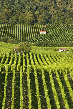 Winegrowing near Donnersdorf, Steigerwald, Lower Franconia, Bavaria, Germany