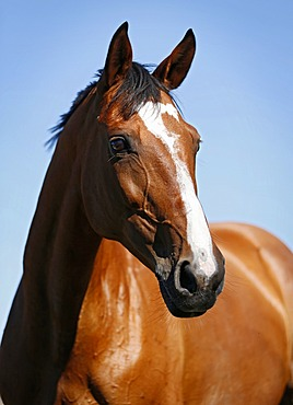Brown mare, Wielkopolska, Polish warmblooded horse, portrait