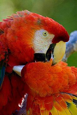 two Scarlet Macaw preening