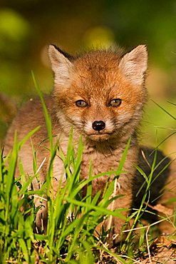 portrait of a baby red fox (vulpes vulpes)