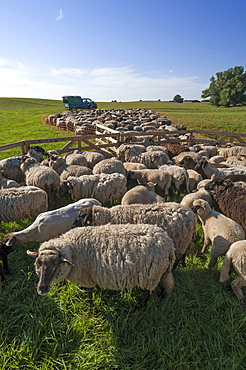 Sheep crammed together, blackheaded sheep in the pasture, Mecklenburg-Western Pomerania, Germany, Europe