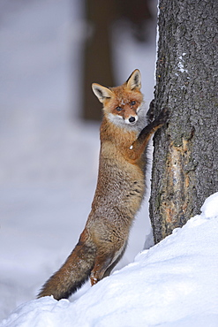 Red fox (Vulpes vulpes) in the snow, leaning against a tree trunk, curious look, Bohemian Forest, Czech Republic, Europe