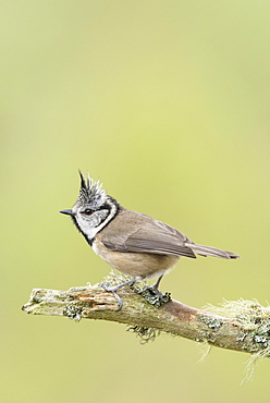European crested tit (Lophophanes cristatus) sitting on tree branch, Cairngorms National Park, Scottish Highlands, Scotland, United Kingdom, Europe