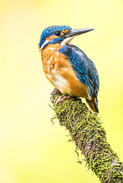 Kingfisher (Alcedo atthis) sitting on mossy branch, Lower Austria, Austria, Europe