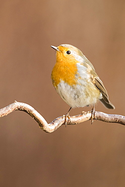 Robin (Erithacus rubecula) sitting on branch, Lower Austria, Austria, Europe