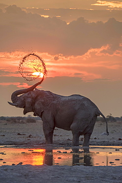 African elephant (Loxodonta africana), mud bath at sunset at a waterhole, Nxai Pan National Park, Ngamiland District, Botswana, Africa