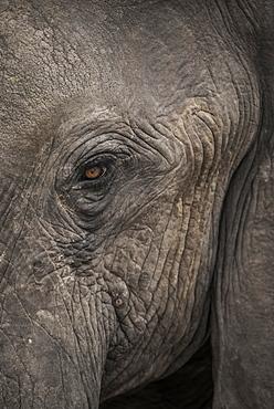 African elephant (Loxodonta africana), eye, close-up, Marabou Pan, Chobe District, Botswana, Africa