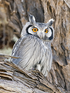 Southern white-faced owl (Ptilopsis granti), Kgalagadi Transfrontier National Park, North Cape, South Africa, Africa