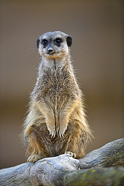 Meerkats (Suricata suricatta), kitten, vigilant, captive