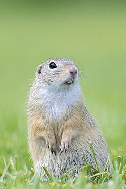 European ground squirrel (Spermophilus citellus) in a meadow, Lower Austria, Austria, Europe