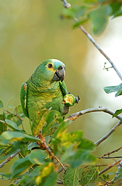 Blue-fronted amazon (Amazona aestiva) eats fruit, Pantanal, Brazil, South America