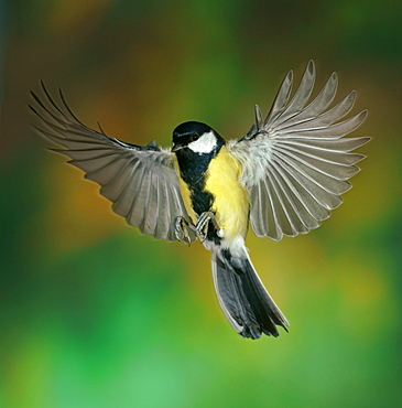 Great Tit (Parus major) in flight, Hesse, Germany, Europe