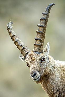 Alpine Ibex (Capra ibex), male, Franz-Josefs Hohe, Hohe Tauern National Park, Carinthia, Austria, Europe