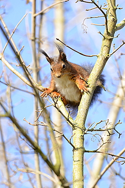 Red squirrel (Sciurus vulgaris), between branches, North Rhine-Westphalia, Germany, Europe