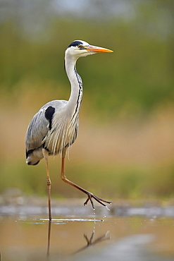 Grey heron (Ardea cinerea), walks in the water, National Park Kiskunsag, Hungary, Europe