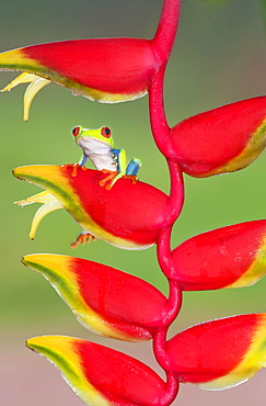 Red-eyed Tree Frog (Agalychnis callydrias) on lobster claw (Heliconia rostrata), Costa Rica, Central America