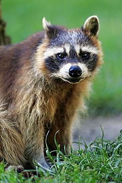 Raccoon (Procyon lotor), adult, portrait, alert, captive