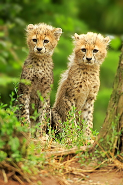 Sudan cheetah (Acinonyx jubatus soemmeringii), two young animals, siblings, sitting, ten weeks old, occurrence Sudan, captive