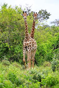 Cape giraffes (Giraffa camelopardalis giraffa), subadult, half-grown young animal, two, food search, Saint Lucia Estuary, Isimangaliso Wetland Park, Kwazulu Natal, South Africa, Africa