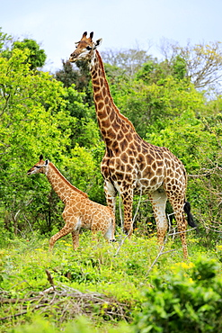 Cape giraffes (Giraffa camelopardalis giraffa), adult female with youngs, foraging, Saint Lucia Estuary, Isimangaliso Wetland Park, Kwazulu Natal, South Africa, Africa