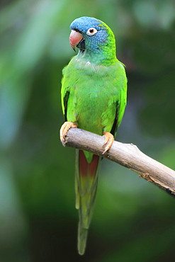 Sharp-tailed Parakeet, (Thectocercus acuticaudatus), adult on wait, captive, occurrence South America