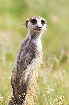 Suricate (Suricata suricatta), guard on the lookout, rainy season with green surroundings, Kalahari Desert, Kgalagadi Transfrontier Park, South Africa, Africa