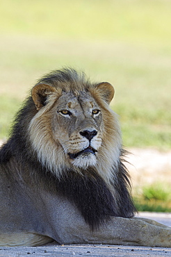 Lion (Panthera leo), black-maned Kalahari male, resting, rainy season with green surroundings, portrait, Kalahari Desert, Kgalagadi Transfrontier Park, South Africa, Africa