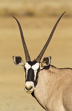 Gemsbok (Oryx gazella), female, portrait, Kalahari Desert, Kgalagadi Transfrontier Park, South Africa, Africa