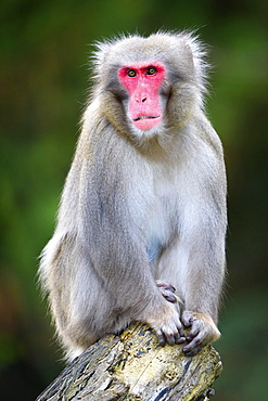 Japanese macaque (Macaca fuscata) sits on tree trunk, captive