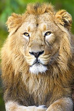 Asiatic Lion (Panthera leo persica), dormant, portrait, captive