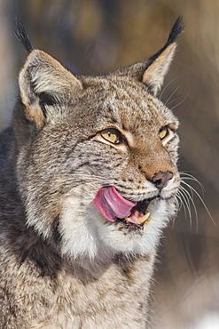 Eurasian lynx (Lynx lynx), portrait, licking its mouth, captive, North Rhine-Westphalia, Germany, Europe