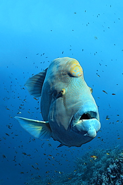 Humphead wrasse (Cheilinus undulatus) over coral reef, the Great Barrier Reef, Pacific, Australia, Oceania