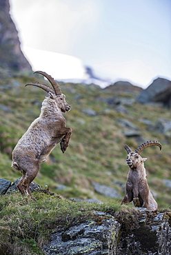 Alpine ibex (Capra ibex), also steinbock or Ibex, fighting for rank, High Tauern National Park, Carinthia, Austria, Europe