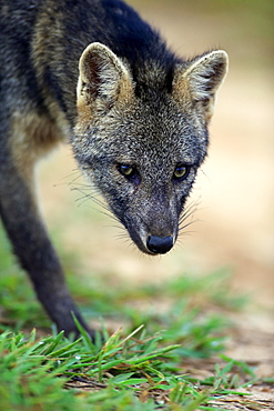 Crab-eating fox (Cerdocyon thous), adult, prowling, portrait, Pantanal, Mato Grosso, Brazil, South America