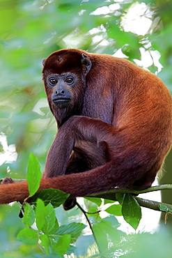 Venezuelan red howler (Alouatta seniculus), adult, sits in the tree, captive