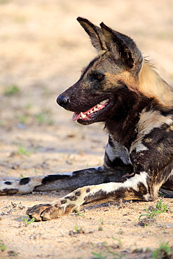 African wild dog (Lycaon pictus), adult, alert, resting, animal portrait, Sabi Sand Game Reserve, Kruger National Park, South Africa, Africa