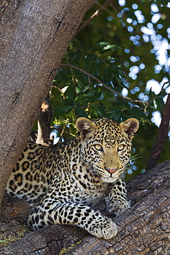 Leopard (Panthera pardus), female, resting in a tree, Chobe National Park, Botswana, Africa