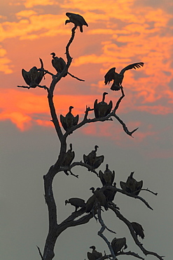 White-backed Vulture (Gyps africanus), at sunset on their resting tree, Chobe National Park, Botswana, Africa
