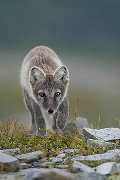 Arctic fox (Vulpes lagopus), puppy in the Fell, Dovrefjell, Norway, Europe