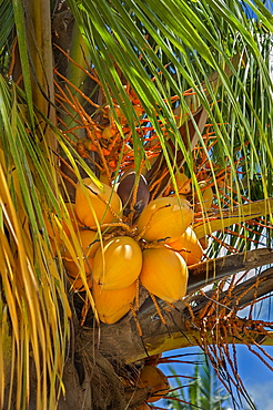 Coconut tree (Cocos nucifera) with fruits, village Yenbuba, Mansuar, Raja-Ampat, Western New Guinea, Indonesia, Asia